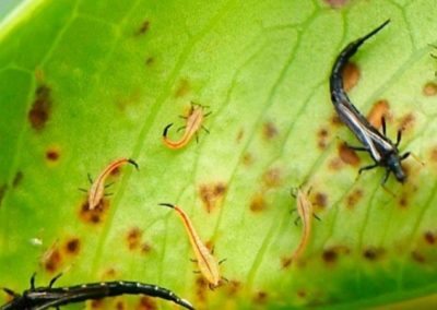 Thrips feuille
